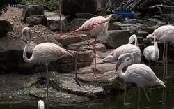 """Clip những chú chim hồng hạc mới nhập thêm ở Thảo Cầm Viên khiến dân mạng cực thích thú vì đẹp như """"tiên cảnh"""""""