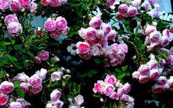 Khu vườn sở hữu triệu đóa hồng đẹp như chốn bồng lai của cô giáo Việt tại Đức