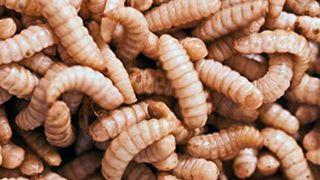Chuyện lạ: Ăn ruồi để cứu thế giới sau đại dịch Covid-19, giải pháp tối ưu cho ngành nông nghiệp và an ninh lương thực