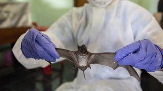 Phát hiện kháng thể vô hiệu hóa nCoV ở dơi Thái Lan