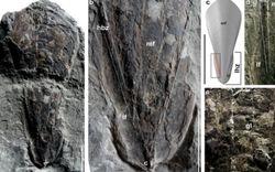 Hóa thạch 30 triệu năm của mực ma cà rồng